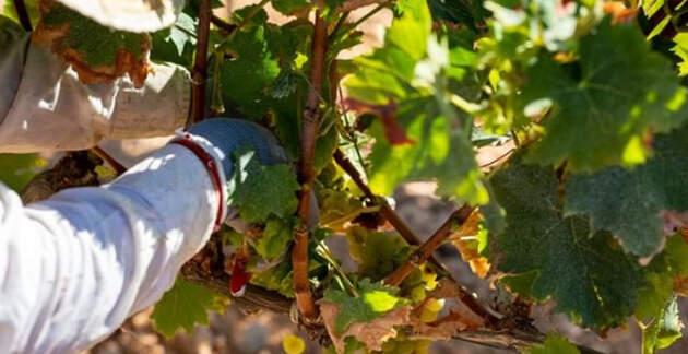 Ja es cullen les varietats forànes com el Chardonnay i les que es dediquen a fer escumosos, que necessiten major grau d'acidesa