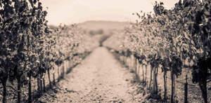 L'hivern a la vinya marca un compas d'espera, una imatge que fa pensar amb els vinaters a l'espera de la reactivació de l'activitat
