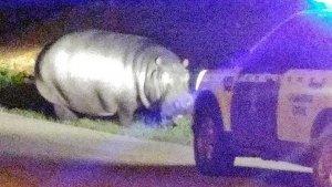 La Guardia Civil captura a un hipopótamo