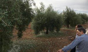Estado del olivar tras la granizada caída en Alcaudete, Jaén
