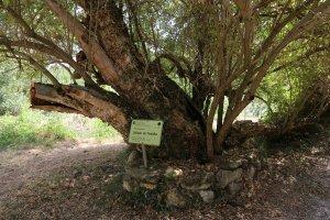 El saüquer de Fontalba, arbre monumental.