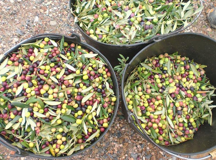 Collita d'olives.