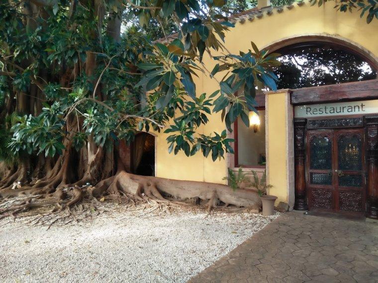 Entrada del restaurant, amb l'arrel del ficus gegantí i protegit que amenaça.