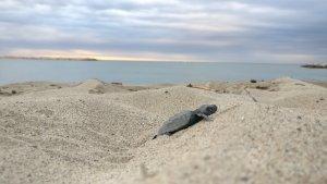 Primer pla d'una de les cries de tortuga babaua a la platja de l'Ardiaca, a Cambrils