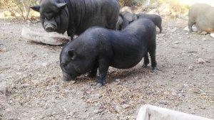 Els porcs vietnamites viuen al Parc de la Muntanyeta de Sant Pere i Sant Pau.