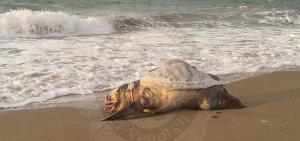 La tortuga que s'ha trobat a la platja del Vendrell.