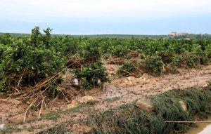 Imatge d'un camp de cítrics de les Terres de l'Ebre, després de les fortes pluges