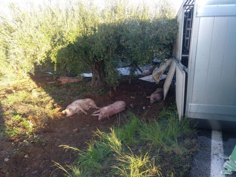 El camió bolcat transportava porcs