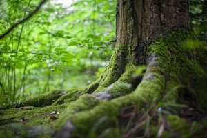 Una soca d'arbre.