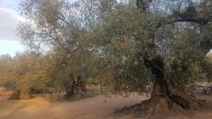 Les oliveres mil·lenàries del Sénia, protagonistes d'una gran jornada de reconeixement