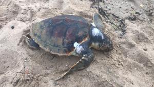 Apareix una tortuga marina morta a la platja de Cambrils