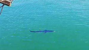 Imatge de la tintorera que va aparèixer a la costa de Cambrils