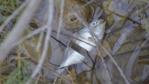 Pla dels peixos que s'han trobat morts a la desembocadura del Foix.