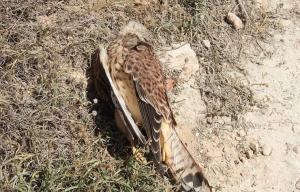 El xoriguer comú que ha mort electrocutat a Banyeres.