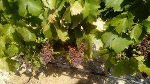 Els viticultors de Tarragona demanen ajuda davant les pèrdues per l'onada de calor
