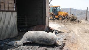 Un animal mort en la granja més afectada per l'incendi de la Ribera d'Ebre