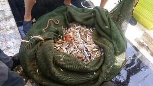 Imatge de les captures retingudes de manera il·legal pel pescador tarragoní denunciat.