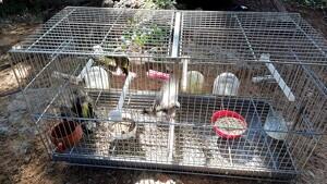 La gàbia on el caçador denunciat retenia les caderneres capturades amb la xarxa japonesa.