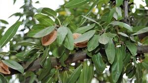 Imatge d'arxiu d'ametlles en un arbre