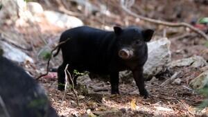 Una cria de porc vietnamita al parc de la Muntanyeta, al barri de Sant Pere i Sant Pau