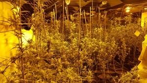 La Guàrdia Civil ha desmantellat a la Pobla de Montornès una plantació de marihuana amb més de 200 plantes.