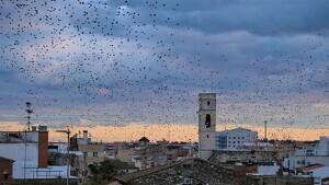Cada tarda des de fa uns dies, els ocells sobrevolen els carrers del Centre Històric i del barri del Colomí.