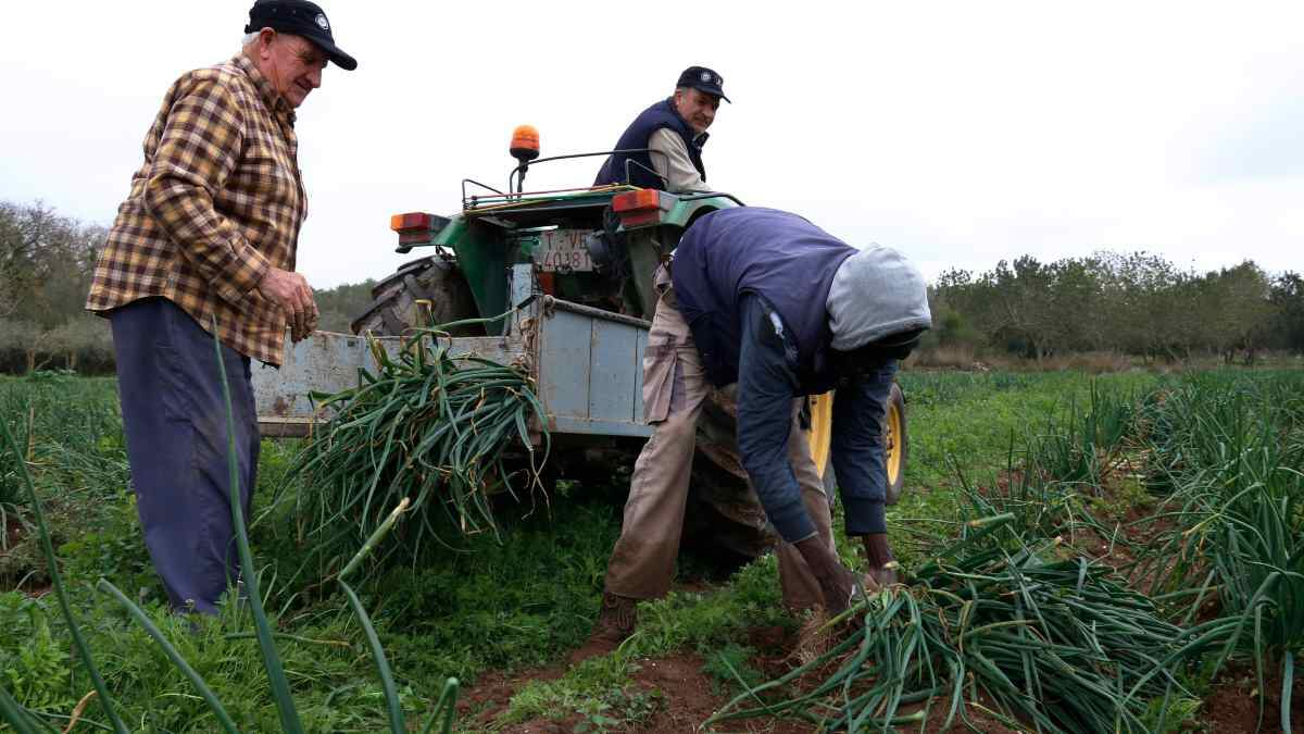 Pla obert de tres pagesos collint calçots de la IGP Calçot de Valls a una finca del terme municipal de Valls