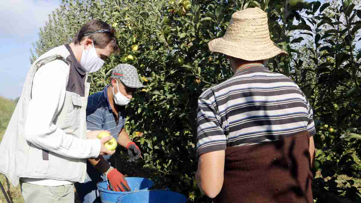 Pla mitjà on es pot veure el responsable de la fruita dolça d'UP, Bernat Ramon, collint pomes juntament amb dos temporers