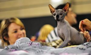 Un gat a la Fira Bestial a Reus.