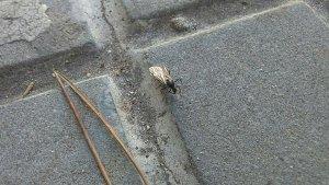 Una de les formigues voladores que es poden veure als carrers de Tarragona.