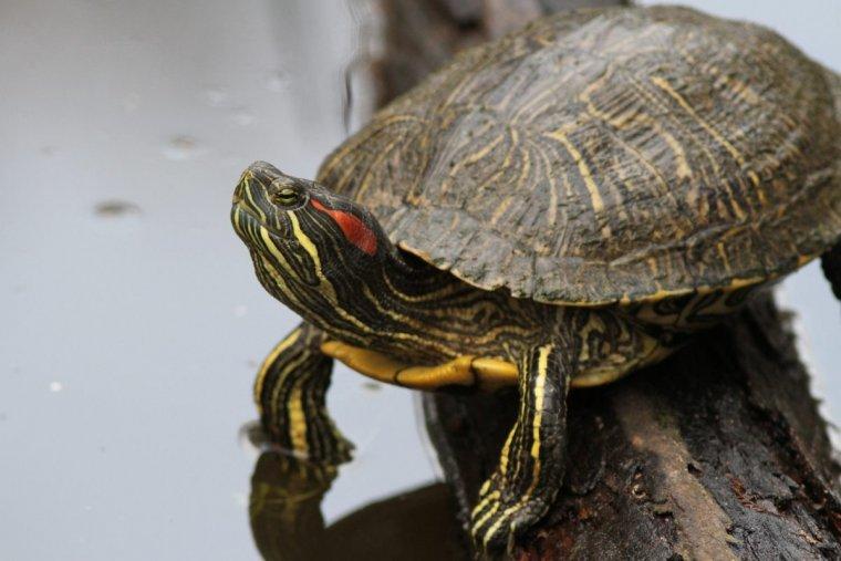 La tortuga de florida és un animal autòcton d'Amèrica