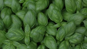 Basil is a medicinal and aromatic plant with numerous anti-inflammatory properties