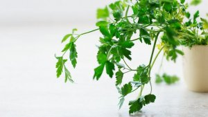 Parsley is a plant with many beneficial albeit unknown properties