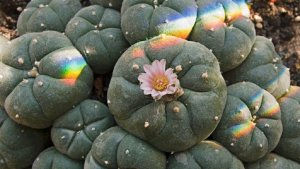 Peyote, one of the most potent hallucinogenic plants in the world.