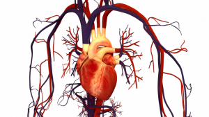 The circulatory system, or cardiovascular system, is formed by organs, veins and arteries.