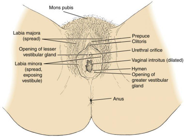Female Reproductive System Organ Anatomy