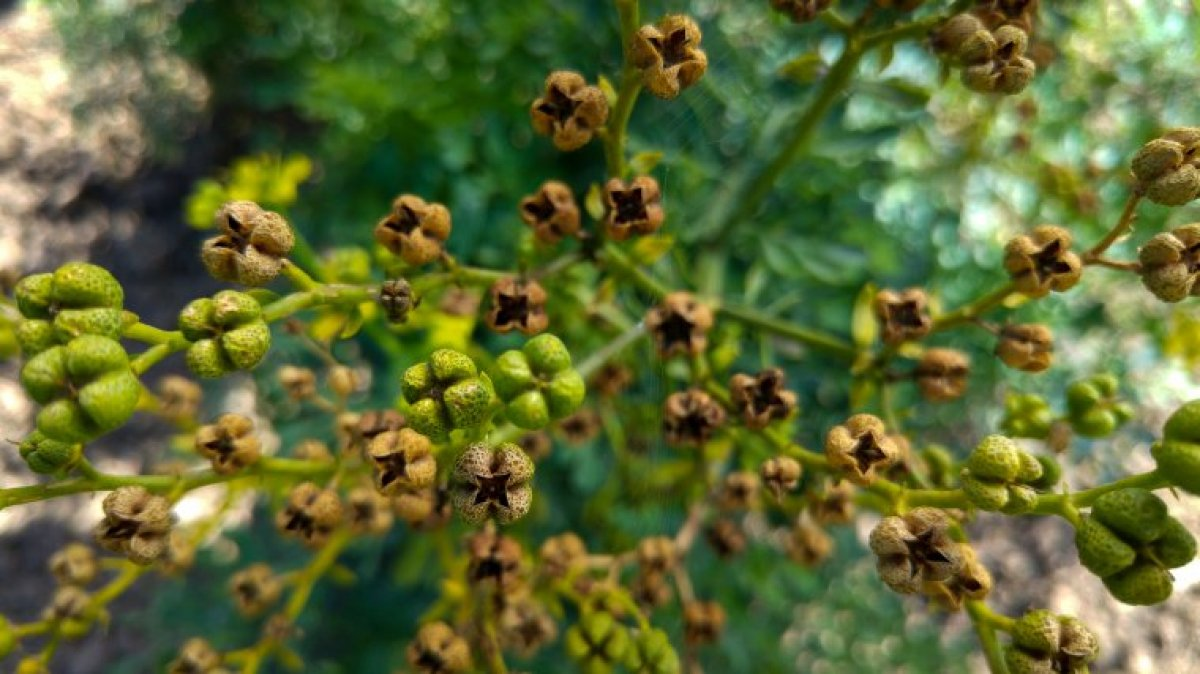 Rue Plant: Uses, Benefits And Side-Effects Of This Herb