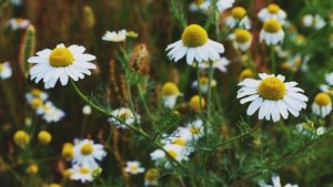 Chamomile is a plant with white flowers, commonly used to make herbal teas.