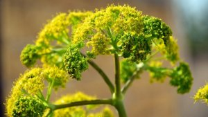 Fennel is a medicinal plants with many properties and benefits.
