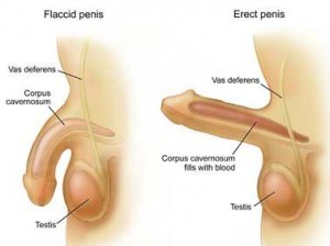 The penis is one of the main organs that make up the male reproductive system.