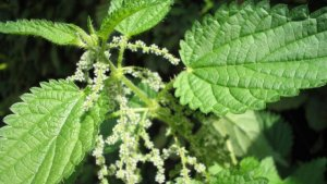 The stinging nettle is a medicinal plant with many properties and health benefits.