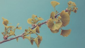 What is ginkgo biloba? The ancient ginkgo tree is a natural remedy used to fight memory loss.