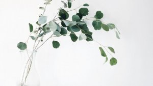 The leaves of the eucalyptus plant are considered a natural mucolytic