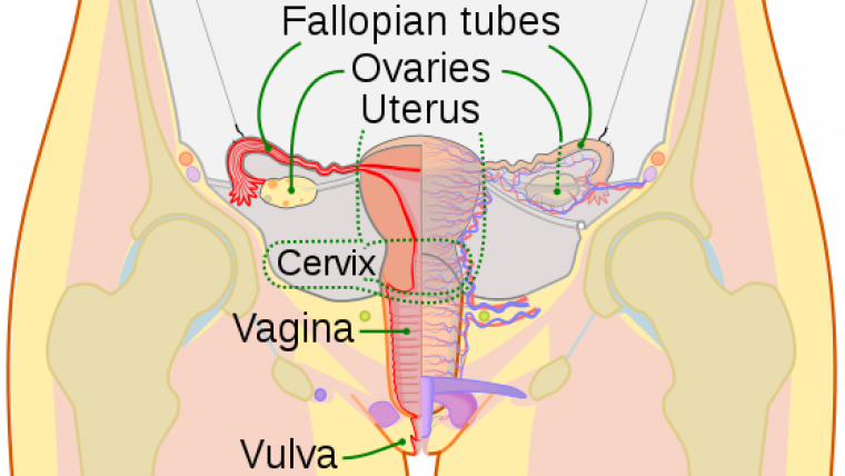 Picture of vulva and its parts
