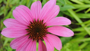All parts of the echinacea plant are used as a supportive medical treatment.