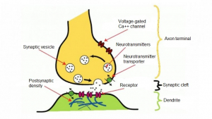 These are the parts of a neurotransmitter.