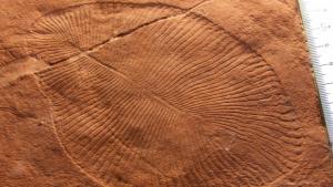 Otro ejemplar de fósil de 'Dickinsonia'