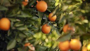 Los frutos de estos árboles son deliciosos