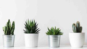 Foto de cuatro cactus