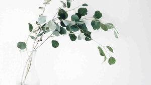 Propiedades del eucalipto en todas sus formas